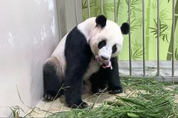 Singapore zoo breeds its first panda cub