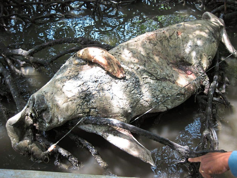 A 3.1m male dugong found dead in Tanjung Kupang, Gelang Patah in 2019. — Photos: THOMAS YONG/The Star and courtesy of Dr Serina Rahman and Affendi Yang Amri