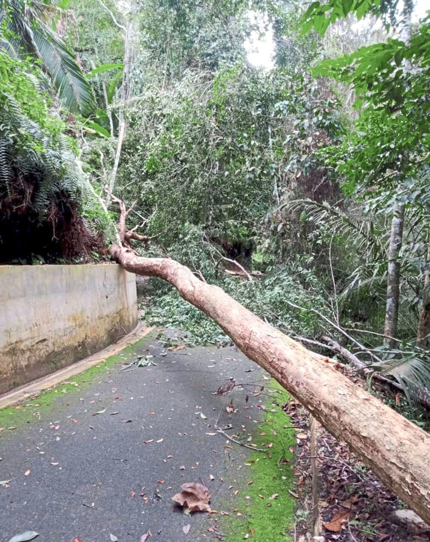 An uprooted tree blocking a path at Penang Hill.