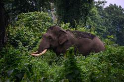 Perhilitan takes five hours to relocate male elephant in Kuala Berang