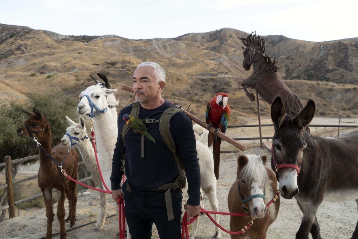 Besides dogs, there are also llamas, alpacas, birds, a horse and a donkey at Cesar Millan's Dog Psychology Center.