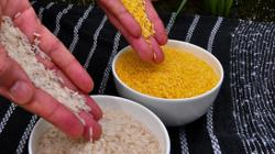 Philippines approves commercial use of genetically engineered rice