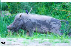African Swine Fever hurts bearded pigs, native communities in Sabah