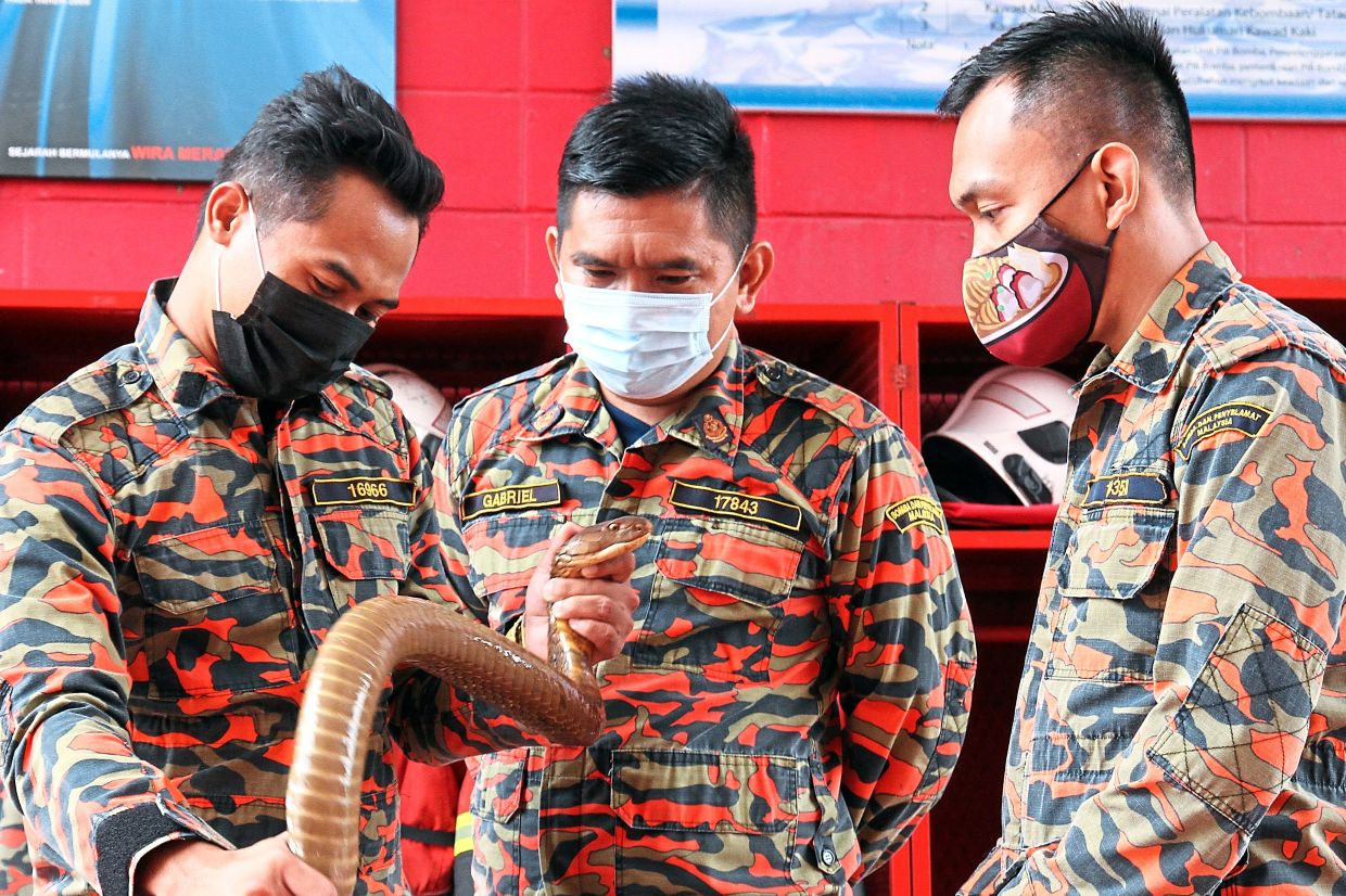 Johor Fire and Rescue Department wild animal training instructor (snakes) Noramey Halim showing the body features of a king cobra to two of his colleague. -