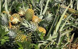 XL Holdings buys pineapple firm