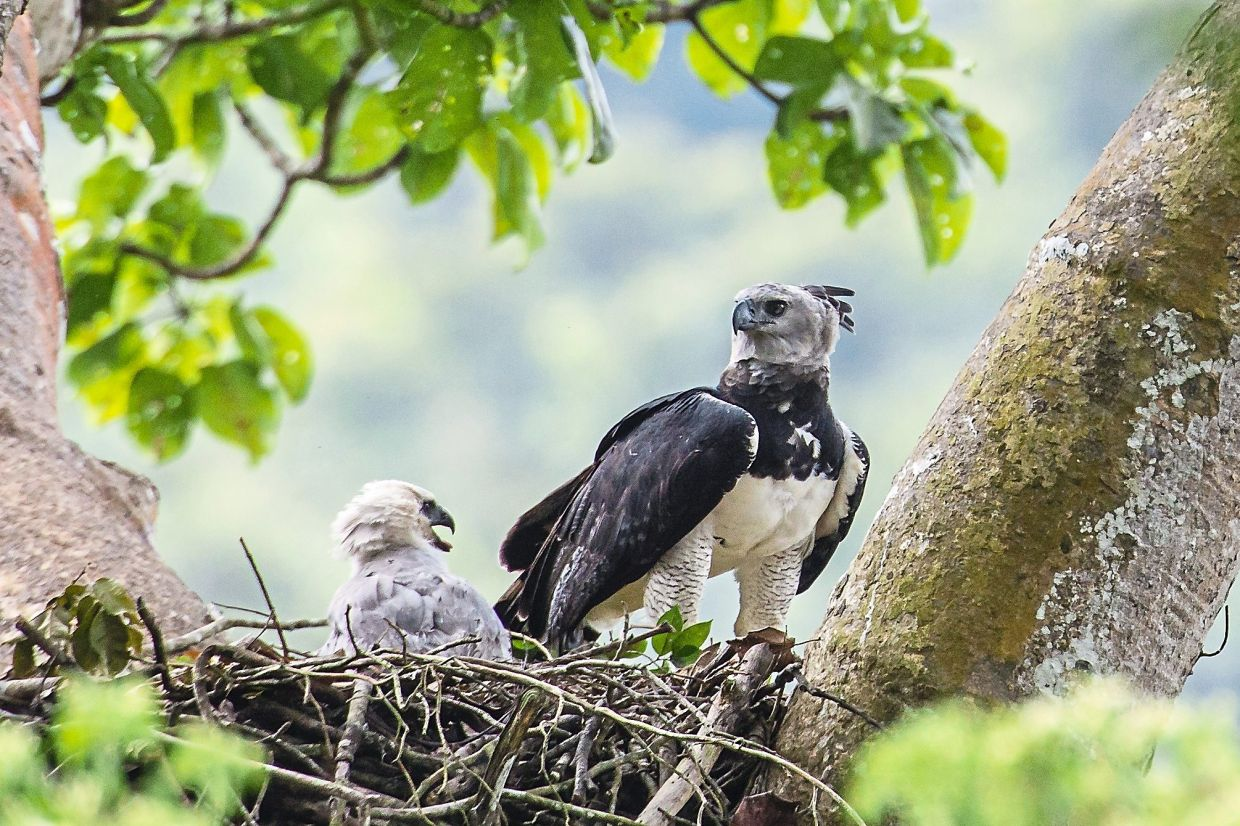 A 2013 photo of a female harpy eagle and its young in a nest in Darién Province, Panama. Harpy eagles were once widespread throughout southern Mexico and Central and South America, but deforestation has dramatically shrunk their range. Photo: Carlos Navarro via AP