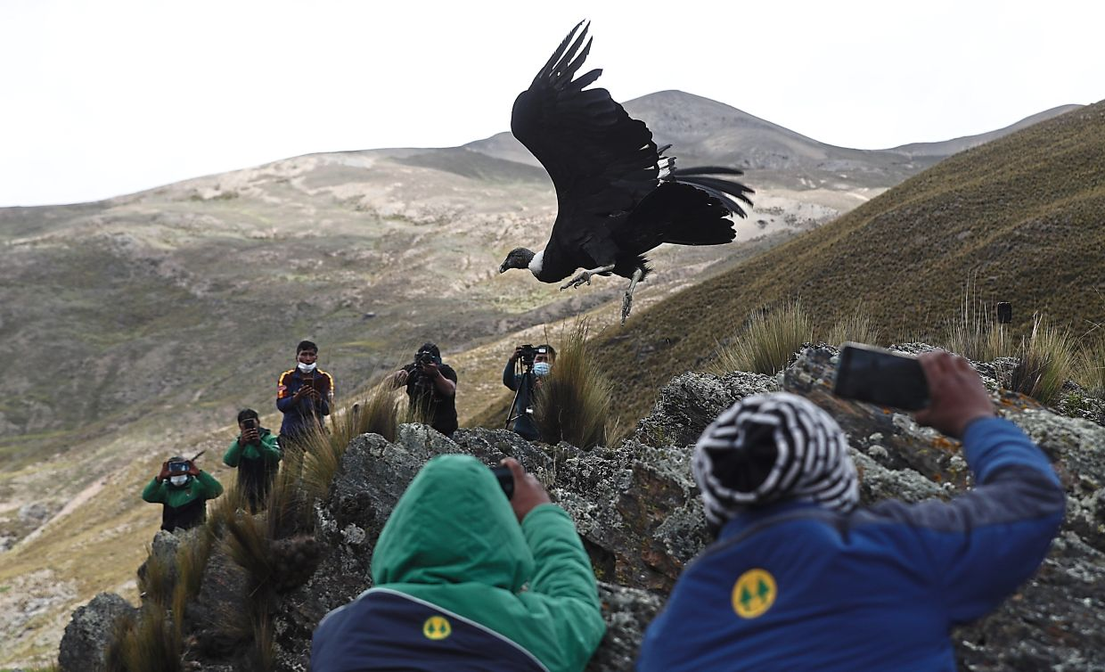 Scientists and journalists watch as an Andean condor is released into the wild by Bolivian veterinarians on Feb 23, 2021, on the outskirts of Choquekhota, Bolivia, as part of a project run by a state conservation programme. The population of the Andean condor, the world's heaviest soaring bird, is declining due to exposure to pesticides, lead and other toxic substances, said Sergio Lambertucci, a biologist at the National University of Comahue in Argentina. Photo: AP/Juan Karita