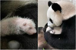 It's a boy! - public invited to name first giant panda cub born in Singapore