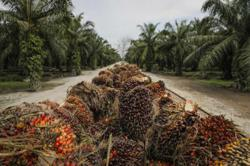 Palm oil falls to over one-week low on higher Indonesia, Malaysia supply