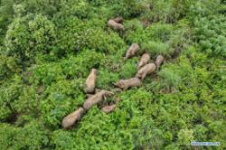 China's wandering elephants end their epic journey