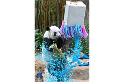 First giant panda cub born in S'pore is a boy