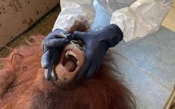 All 30 captive orangutans negative for Covid-19, says Sabah Wildlife Dept