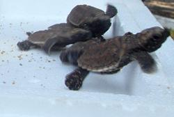 Fisheries Dept: 32 baby hawksbill turtles rescued in Port Dickson