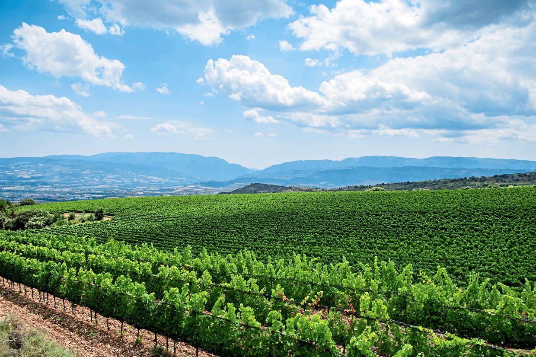 Viñedos que crecen en el viñedo de Torres en Tremb, cerca de Leda en el Pirineo catalán.