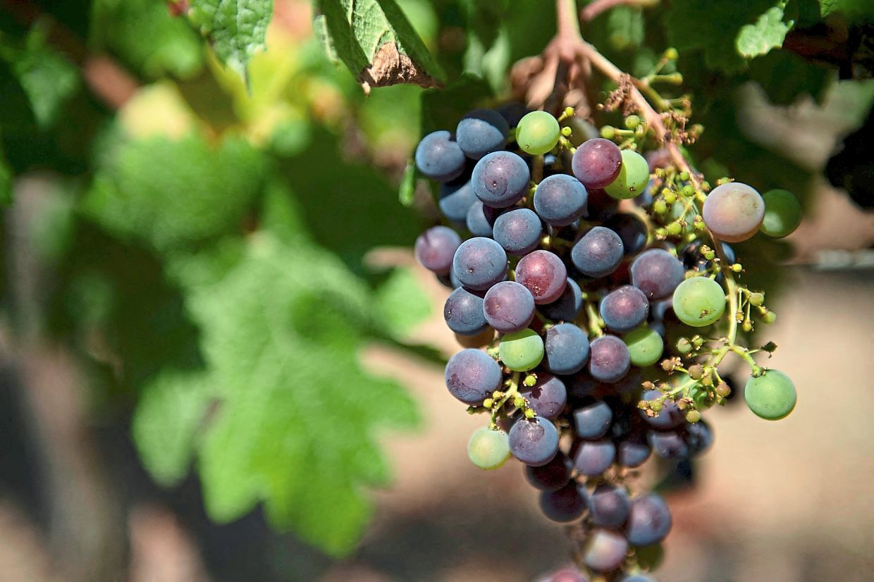 Wine producers in Spain, which has the largest vineyard area in the world, are trying to adapt to a warmer climate that is bringing forward the harvest season and forcing them to use more heat-tolerant grape varieties.