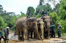 Perhilitan captures seven wild elephants in Jeli