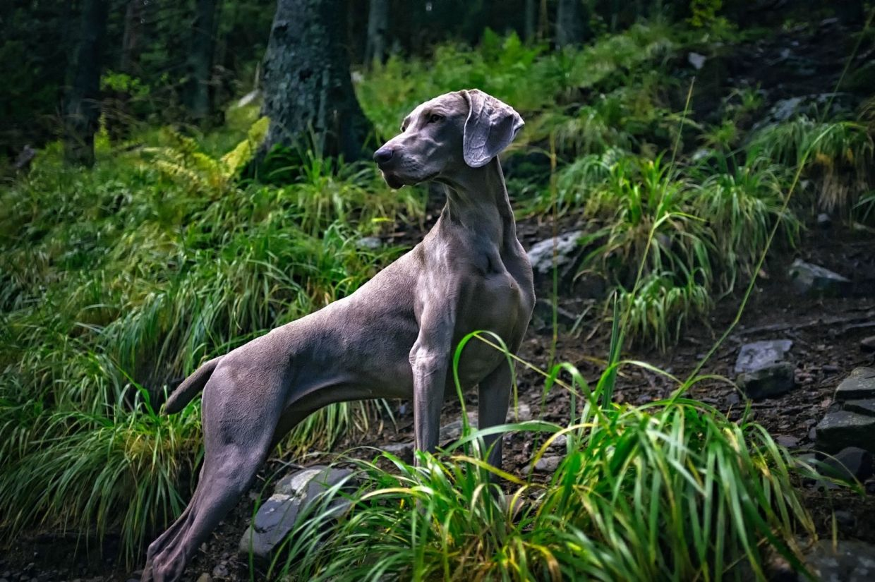 A majestic Weimaraner dog in the woods.