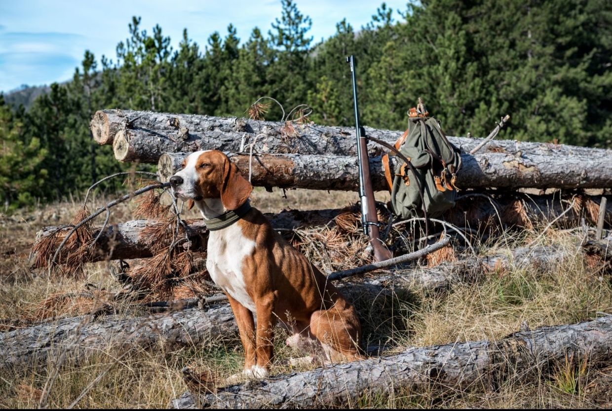 A scent hound patiently awaits his master. Before you get yourself a dog that you want as both a house pet and a hunting dog, first think about the purpose of a hunting dog, and then look for traits like loyalty and love that you seek in a pet.