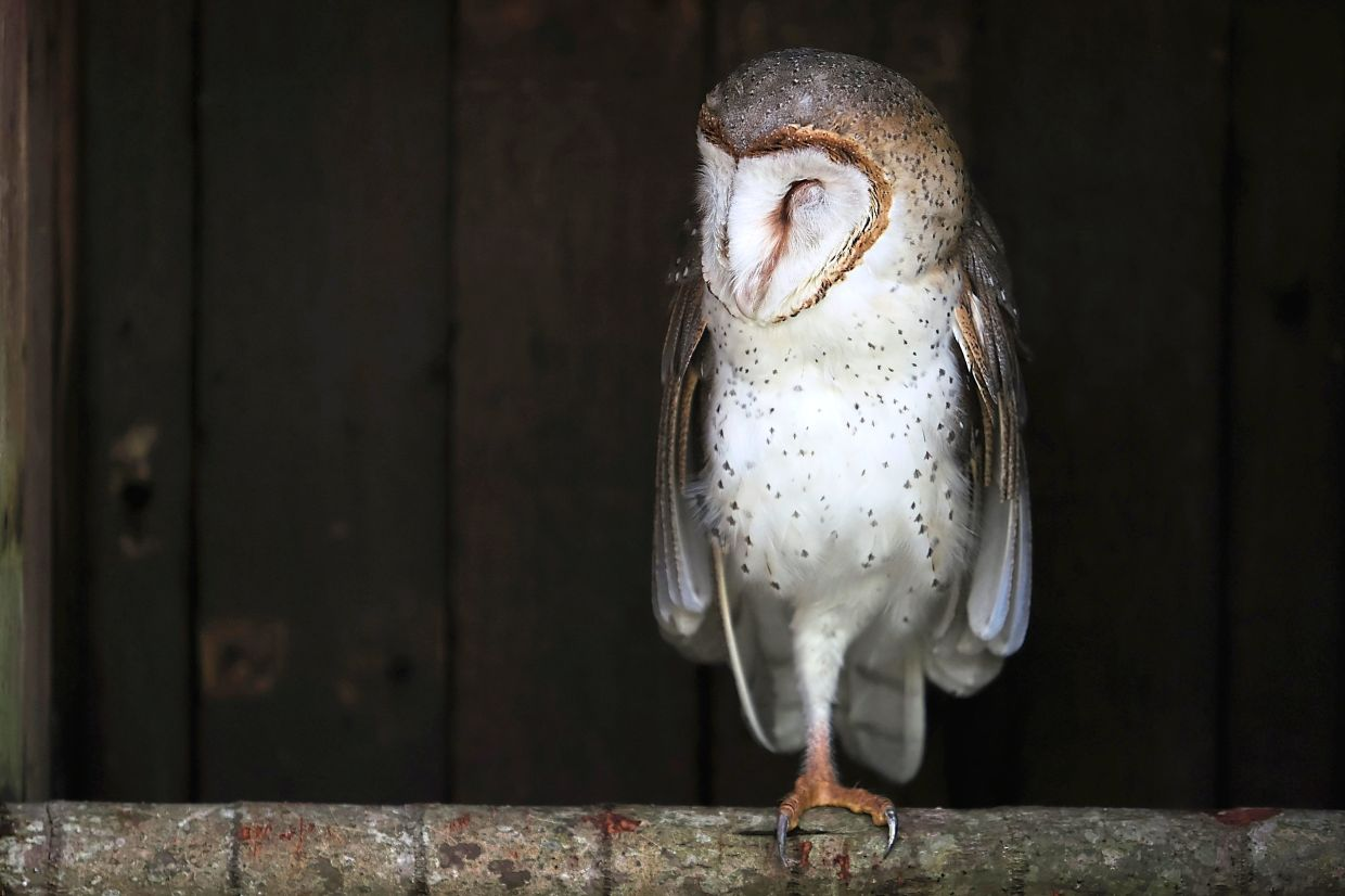 There are several owl species in KL Bird Park, though these nocturnal creatures are likely to be sleeping during the day.