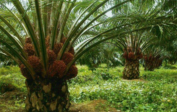 Sarawak Oil Palm Bhd plantation