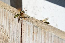 Wasps make outdoor dining impossible in backyard