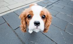 Cavalier King Charles Spaniel: Cute dog with a sad story