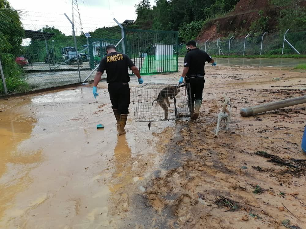WRU rangers bringing a macaque to another location following floods.