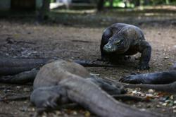 'Endangered' status should spur Komodo dragon protection: activists