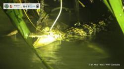 Eight rare baby Siamese crocodiles found in Cambodia