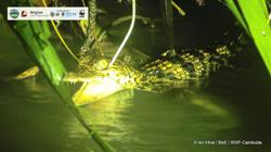 Hatchlings of endangered crocodile species discovered