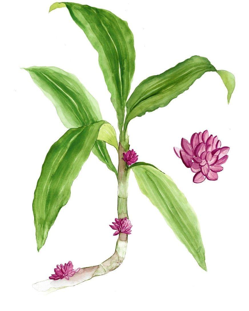 A forest plant which has a variety of local names, including Tabar (Semai), Setawar, Setawar tebu or Tebu gogok. Photo: Handout