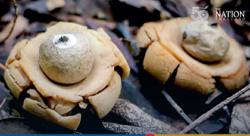 Thailand: Villager in Petchabun province stumbles across one of world's rarest mushrooms