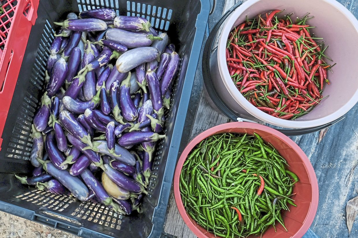 Cili api bara and eggplant are a few types of fresh produce planted by Sharil Azrin and the workers at Rumah Pokok.