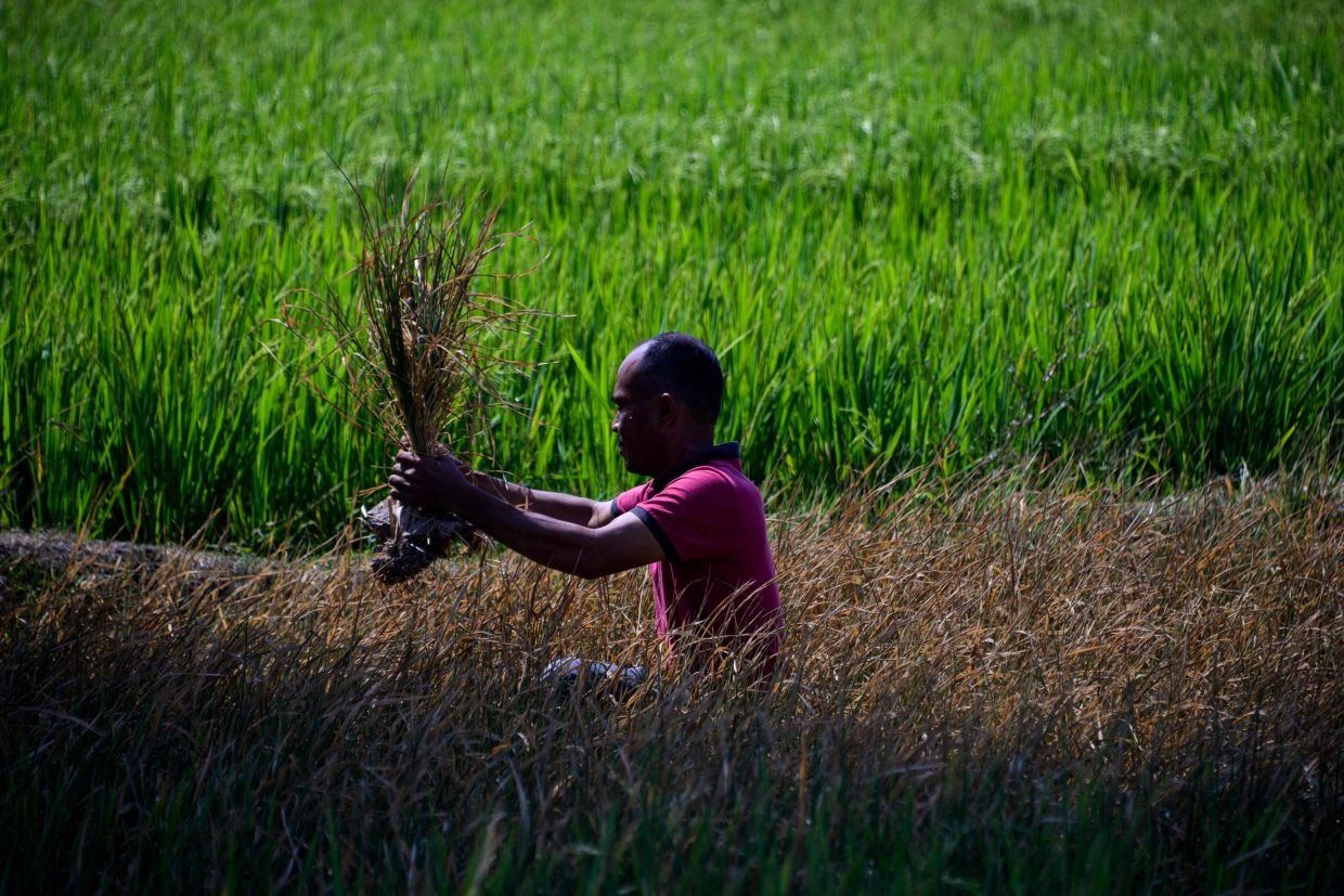 A man checking  his rice paddy crop damaged due to drought in Kuta Cot Glie, Indonesia's Aceh province in March. Water scarcity and other adverse effects of climate change could cause climate migration in the world. — AFP