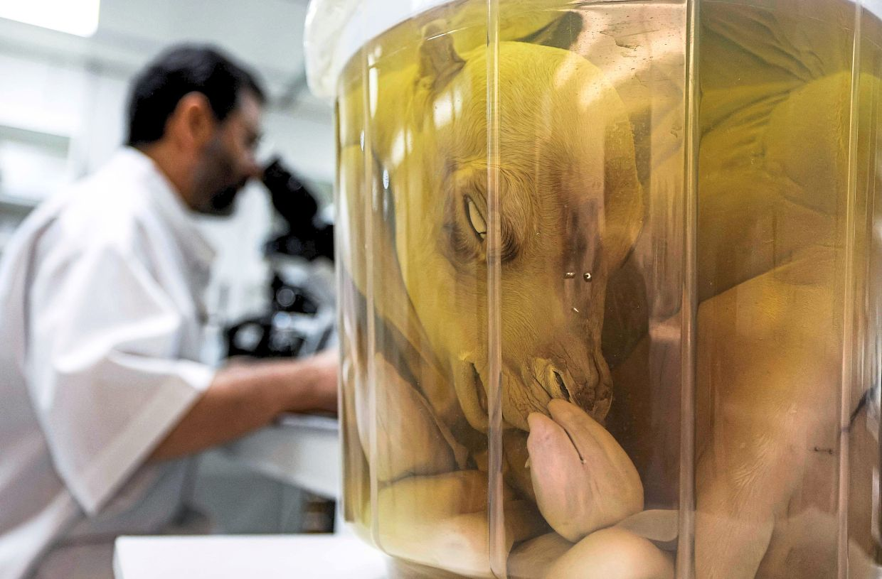 Dr Nisar looking through a microscope while nearby is a cloned camel calf preserved in formaldehyde, at the lab.