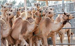 Camel races and beauty pageants spur high demand for clones