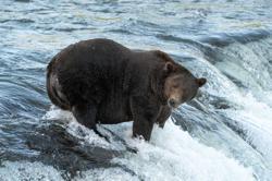 Ahead of winter hibernation, Alaska celebrates Fat Bear Week