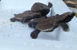 Fisheries Dept: 46 baby hawksbill turtles rescued in Port Dickson