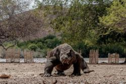 Climate change or human activities? Scientists debate threats to Komodo dragons of Indonesia