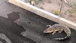 Croc startles site worker, then slips away