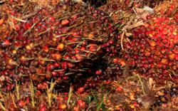 Palm oil stocks fall more than expected