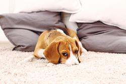 What to do when your new puppy has trouble sleeping alone
