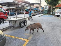 Slippery wild boar could have been searching for food