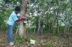 Rubber smallholders in Kedah told to improve production quality, income