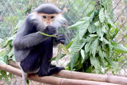 Five very rare and endangered grey shanked douc langurs shot dead in Vietnam; cop starts incident on incident