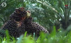 Brace for crude palm oil price correction