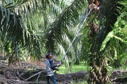 Oil palm smallholders caught in a triple bind