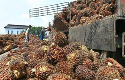 Oil palm plantations in dire need of workers