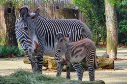 Meet Izara, Singapore Zoo's new zebra foal