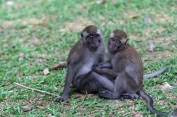 PKR MP proposes distribution of birth control pills to reduce wild monkey population